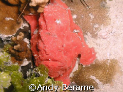 a red frogfish @ the mouth of agus cove, mactan island, c... by Andy Berame 
